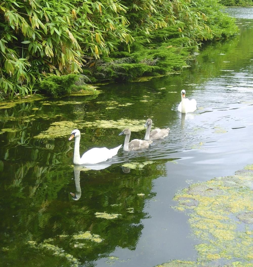 Swans on Lake At Stourhead